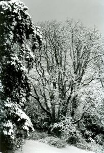 Woodcreek oak and lone wolf fir, Tract B, winter 2003